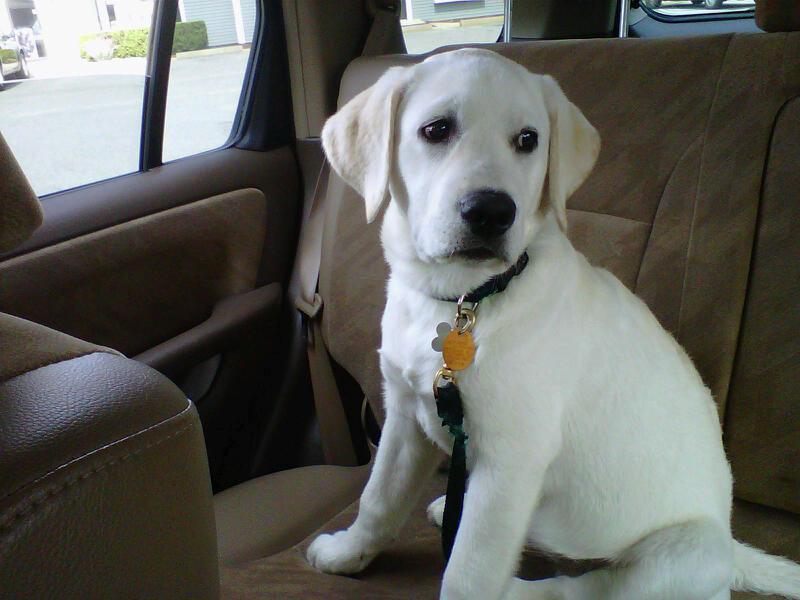 Pictures of English Labrador Retriever Puppies - #rock-cafe