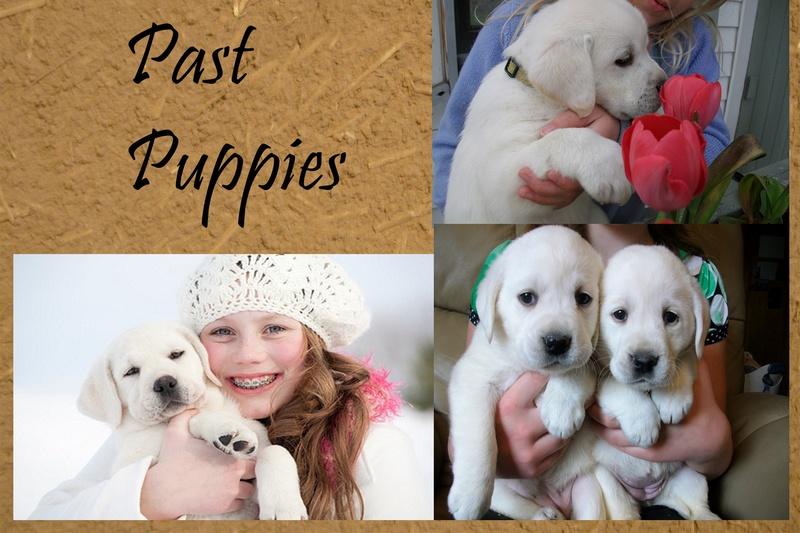 labrador puppies for sale kc black labrador puppies for sale puppies for 800x533