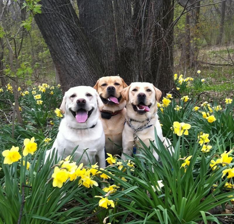 english labrador retrievers nj to download english labrador retrievers ...