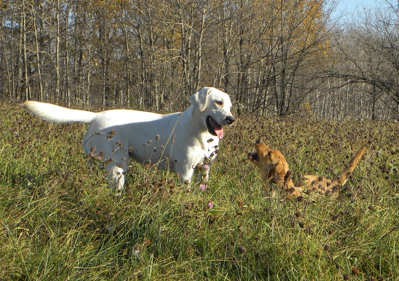 yellow labrador puppies for sale. yellow lab puppies for sale.