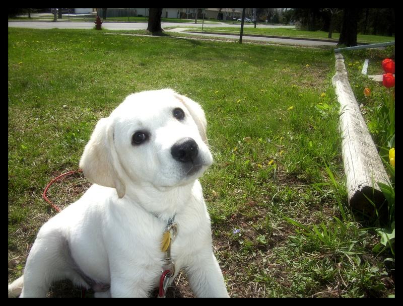 White Lab Puppies And White English Labrador Retrievers