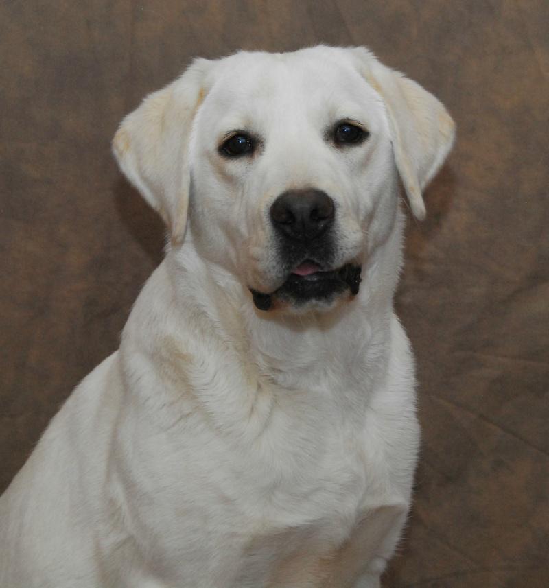 White Lab Pups White Labrador Stud Dogs White Labrador ...