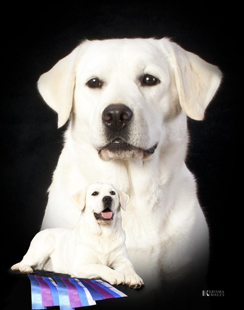 White Loyal Labradors Lab Puppies