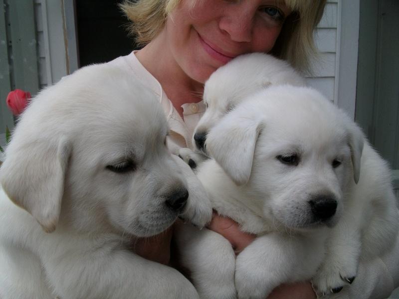 Labrador Puppies For Sale English Labrador Puppies For Sale Mn
