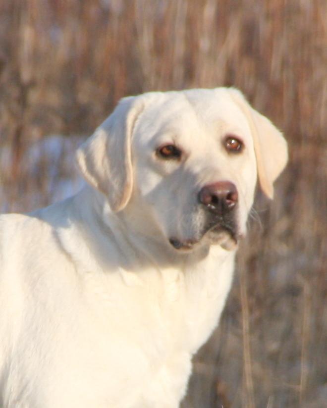 White English Labrador Female