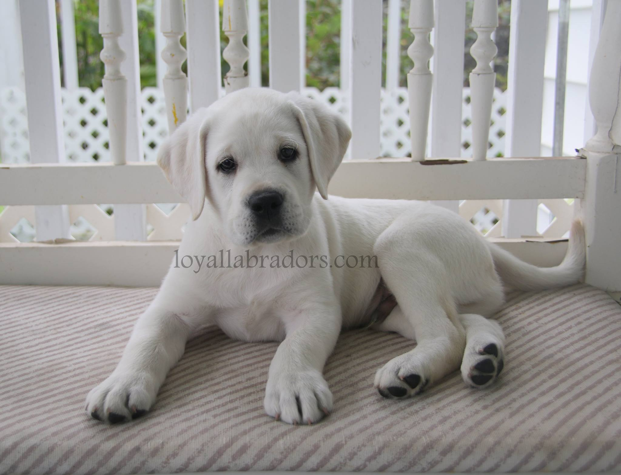 White Lab Puppies And White English Labrador Retrievers Puppies Snow