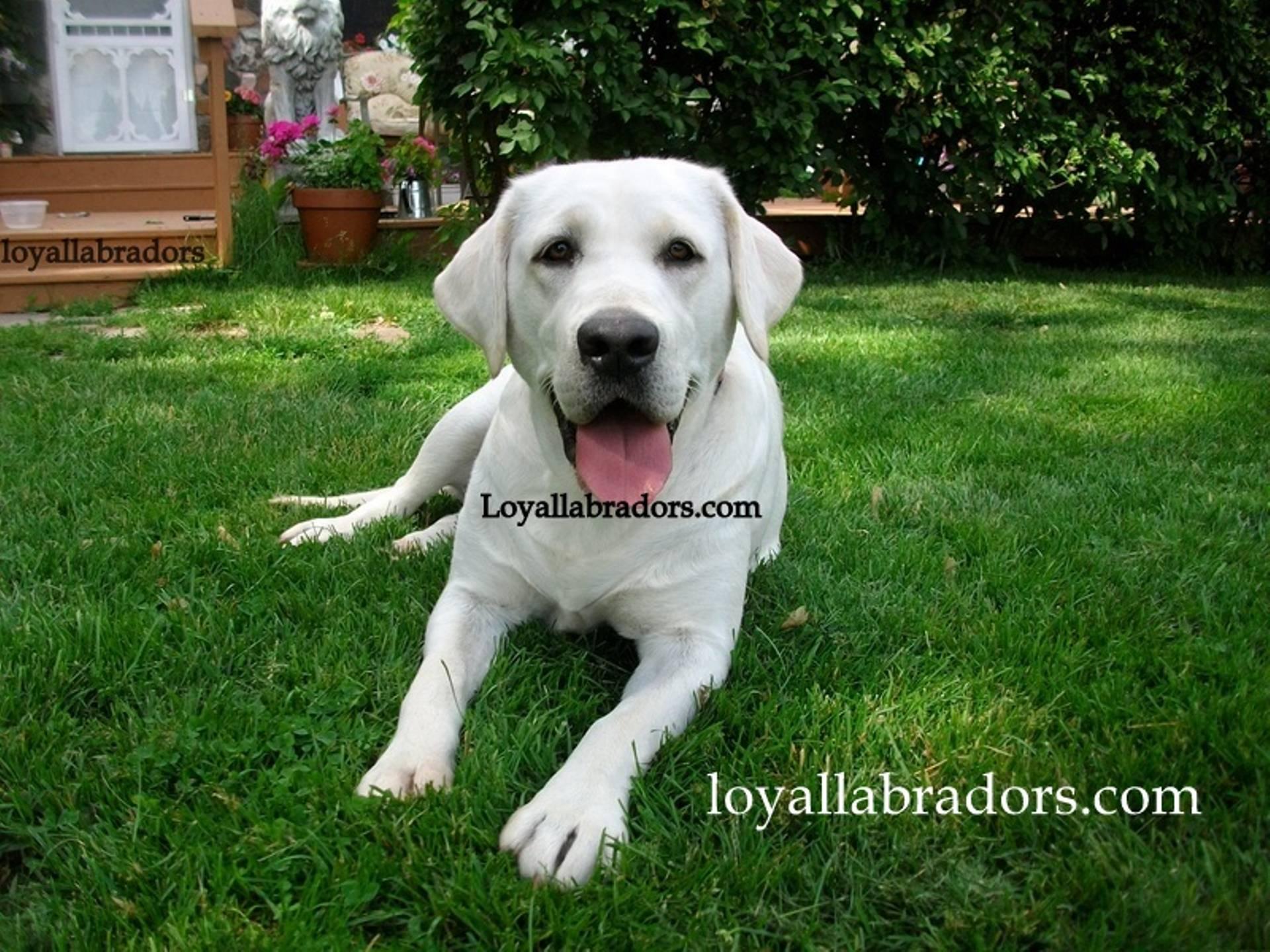 Polar Bear Lab Loyal Labradors Selah