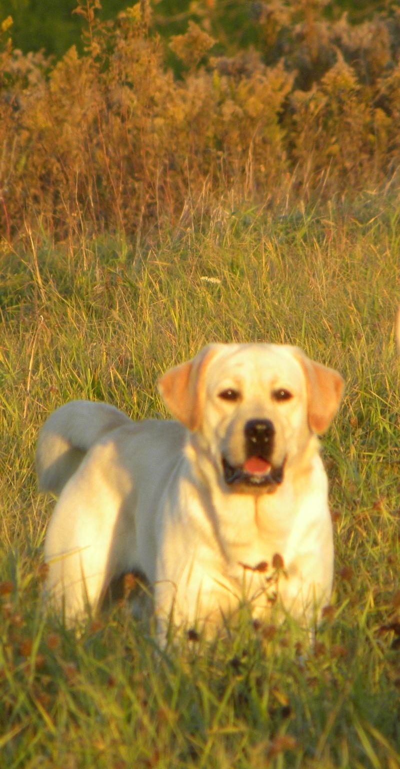 Boaz English Lab Stud Dog